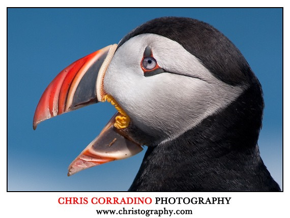 Chris Corradino photo of  Puffin