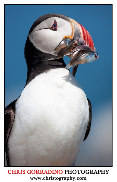 puffin photo by Chris Corradino