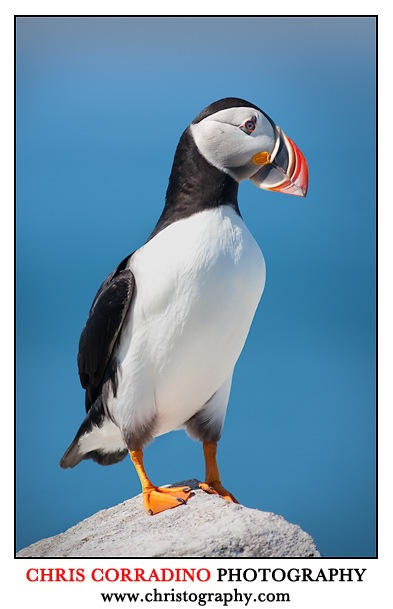 puffin at Machias Seal island canada