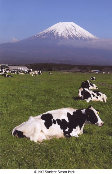 Picture of the Month Mount Fujiyama with Cows