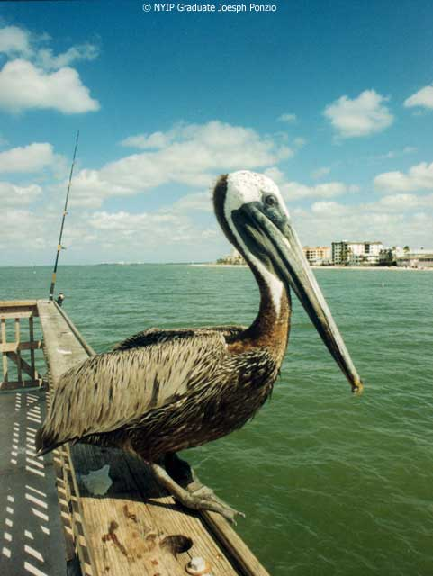 Picture of the Month Pelican